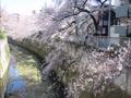 神田川の桜と肥後細川庭園.